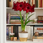 Amaryllis 'Red Pearl'