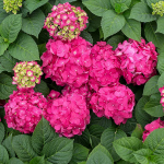 Hydrangea macrophylla Endless Summer® Summer Crush™