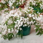 Jasmine in a hanging pot