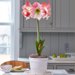 Amaryllis 'Apple Blossom'