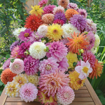 Summertime Splendor Dahlia Collection