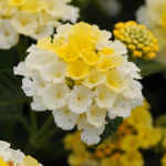 Lantana Lucky™ Lemon Glow