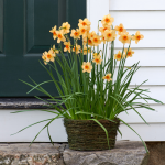 Narcissus 'Kedron,' Ready-to-Bloom Basket