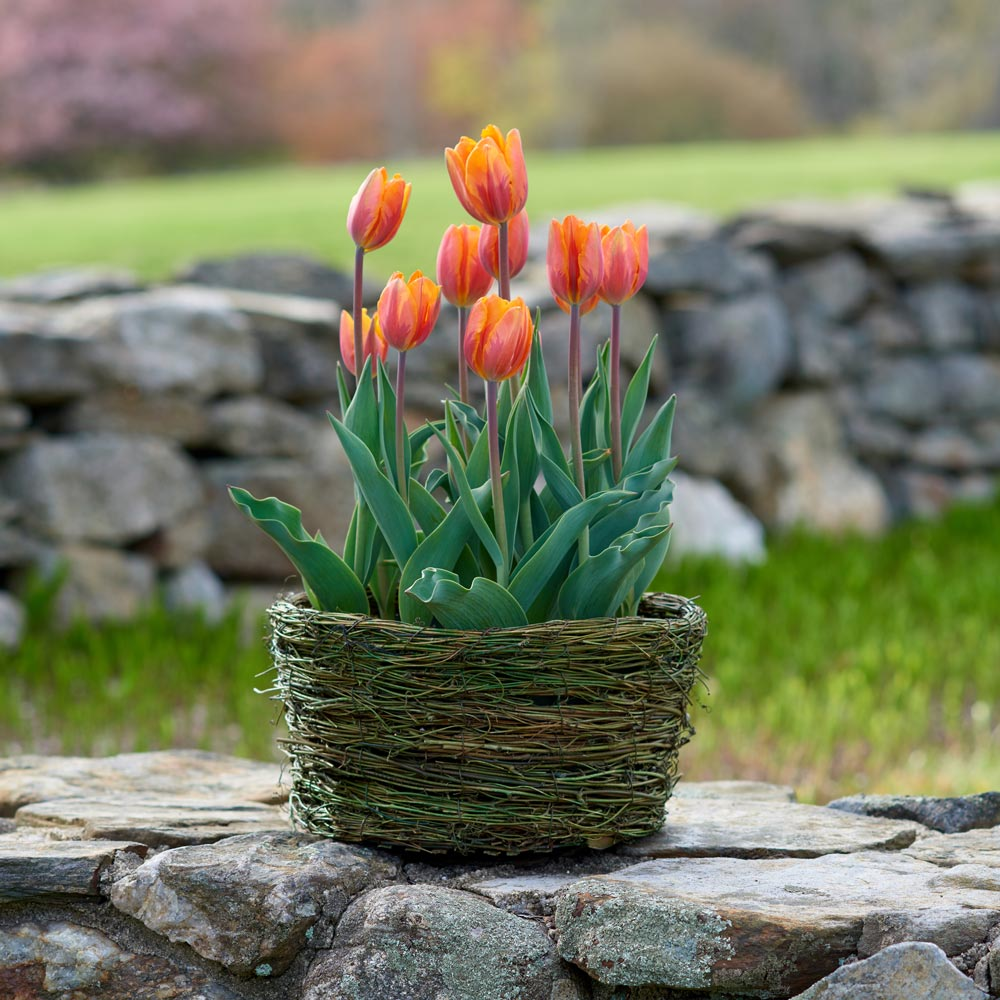 Tulip 'Prinses Irene,' Ready-to-Bloom Basket